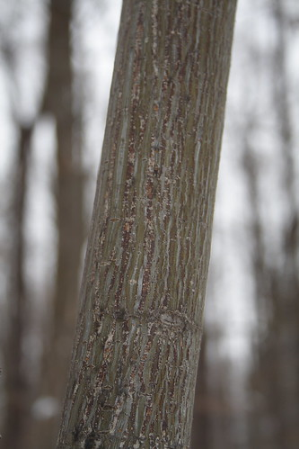 elm tree bark. elm tree bark pictures.