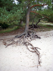 exposed (2) (kexi) Tags: tree green nature vertical pine wow sand nikon roots poland september coolpix 2008 twisted leba instantfave
