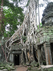 톰마논 사원에 뿌리 내린 나무