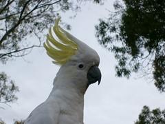 Hello (citrus.poppy) Tags: nature backyard cockatoo gumtree southaustralia australianbird sulphurcrestaustralia