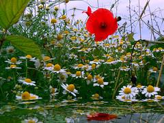 "sinfonia floreale (perplesso42) Tags: flowers primavera spring sinfonia campo fiori soe visualart awesomeshot floreale mywinners natureselegantshots mimamorflowers awesomeblossoms 100commentgroup anuniverseofflowers breathtakers ""flickraward"" sinfoniafloreale macroandwonderfulshots"