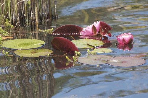 Then back down to Lake Charles, where the water lilies are thriving.