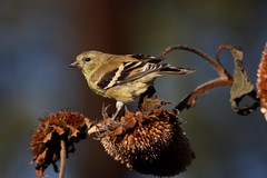 Mellow Yellow Bird (Bsandtana) Tags: nature birds wildlife americangoldfinch longlens caonon 40d