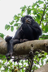 Chimpanzee 3/3 Kanyiyo Pabidi Sanctuary, Uganda