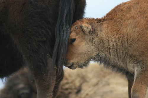 bison_range_20110522_403