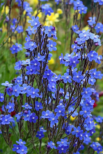 anchusa azurea closer