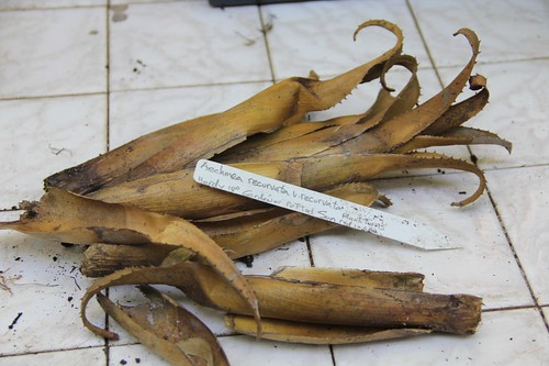 Dead Aechmea Bromeliad