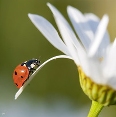Coccinelle  sept points (7). (gille33) Tags: macro nature insect sony ngc npc insecte coccinelle coleoptera coccinellidae a900 specanimal alpha900 sonya900 sonyalpha900 sonydslra900 mygearandme mygearandmepremium mygearandmebronze mygearandmesilver mygearandmegold mygearandmeplatinum mygearandmediamond gillesremus galleryoffantasticshots flickrstruereflection1 flickrstruereflection2 flickrstruereflection3 flickrstruereflection4 flickrstruereflection5 flickrstruereflection6 flickrstruereflection7 eliteladybirdsladybugs