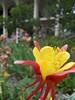 4.20.2010 (essentielley) Tags: flora elleinad santarosa juniorcollege srjc yellow red flower twirly swishy swirly jellyfish california ca norcal aquilegia grannysbonnet favorite bestofflowers flowers
