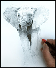 Elephant Calf. work in progress