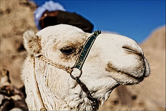 Camel (hanslook) Tags: egypt gypten