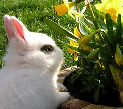 The little white bunny and I wish a Happy Easter to all of you! (Linda6769 (hiking)) Tags: white flower rabbit bunny eye germany easter furry village thuringia yellowflower daffodil flowerpot ostern easterbunny kaninchen osterdekoration easterdecoration osterzeit gelbeblume explored gartenblume osterfest brden flowersinpotsboxes blumenintpfenoderksten