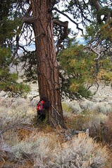 Tree hugger_huge ponderosa