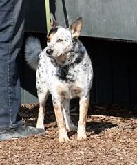 Cattle Dog (Just chaos) Tags: horse dog domestic lupus woodside animalia airedale mammalia domesticated canis familiaris carnivora equidae equuscaballus chordata canidae perissodactyla ceta oddtoedungulate