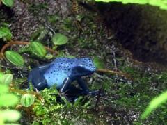 P1040467 (quiquecamacho) Tags: blue zoo houston frog