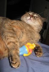6 of 365 Barney has bad breath (Artdreams101) Tags: 365 barney teenie badbreath whatsnewpussycat oneobject365daysproject artdreams101