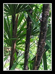 Macro canes or stems of Rhapis excelsa (Lady Palm)