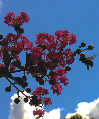 CrabAppleLane Crepe Myrtle - June 8, 2008