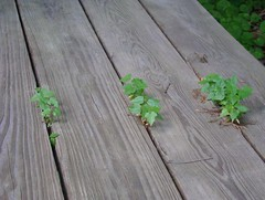 Maples growing in the picnic table