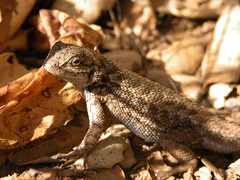 A lizard in the leaf litter