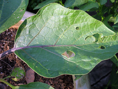 eggplant damage from flea beetles
