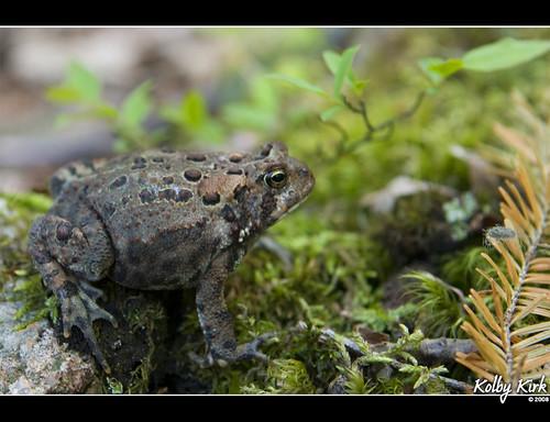 Nova Scotian Toad