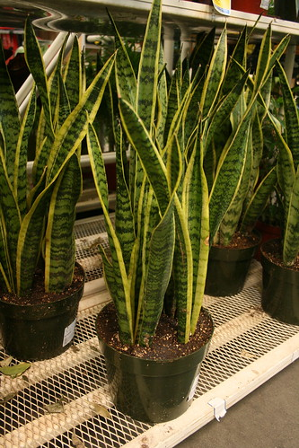Sansevieria - Mother-in-law tongue or Snake Plant [Photo by Green Acres Nursery and Supply]
