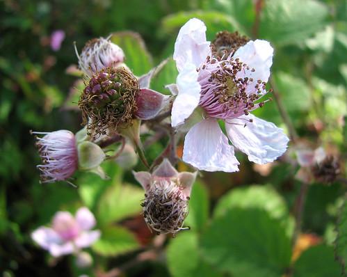 Early blackberry