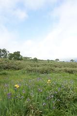 湿原出口の「アヤメ園」2
