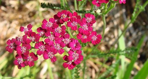 flowers flower macro beautiful burgundy southcarolina magenta lovely yarrow achillea asteraceae pickenscounty a1f1