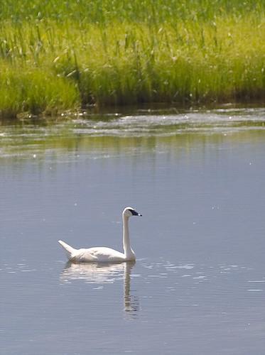 trumpeter swan. Trumpeter Swan