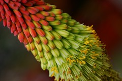 Kniphofia in my garden  (Flower) (natureloving) Tags: red orange flower macro nature yellow nikon bravo colours kniphofia redhotpoker afsvrmicronikkor105mmf28gifed abigfave d40x natureloving flowersinfrance fleursenfrance