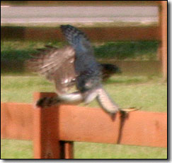Hawk landing on fence