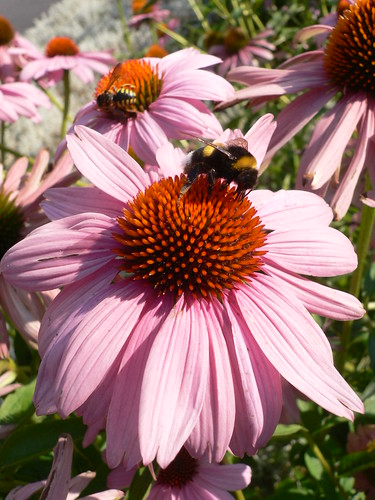 "Bumblebee and Wasp on  ""Echinacea Purpurea"""
