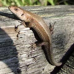 Funny toes (Lalallallala) Tags: wild animal suomi finland reptile lizard wildanimal viviparouslizard commonlizard sisilisko nilsiä haluna zootocavivipara
