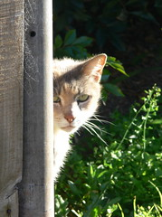 keeping an eye on me (Foot Slogger) Tags: light animals cat fence spiderweb soe kissablekat