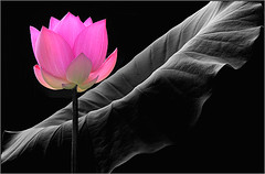 Pink Lotus Flower - IMG_8097 - , , ,  , Fleur de Lotus, Lotosblume, , , (Bahman Farzad) Tags: china pink red india inspiration flower macro fleur tattoo de thailand bravo truth cambodia peace lotus blossom calming peaceful teacher sacred therapy budha elegant inspirational spiritual simple hindu soulful heavenly buda tatto peacefulness devine   lotusflower therapist lotusflowers lotuspetal  lotuspetals  lotosblume   soulfulflower lotusflowerpetals lotusflowerpetal