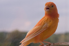 pet bird animal canary redfactor