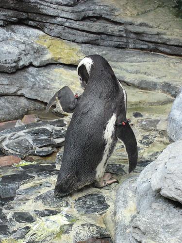 企鵝整理服裝儀容