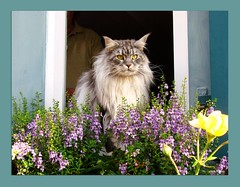 Fensterblick - windowsight 2 (Jorbasa) Tags: pet smart animal cat germany deutschland bestof hessen maine coon mainecoon maxwell katze kater gemany wetterau jorbasa blackclassicsilvertabby