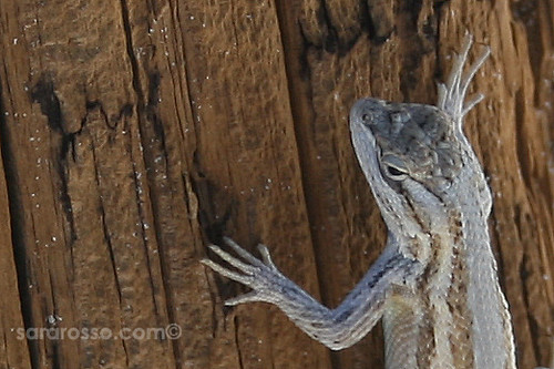 Bleached Earless Lizard in the Shade