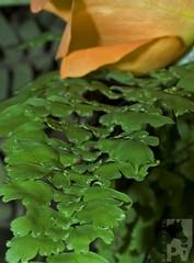 Helecho / Fern (PAL1970) Tags: fern macro verde green helecho latinamerica canon guatemala latinoamerica centroamerica eos30d pal1970