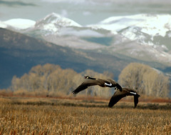 Canada Geese (truan) Tags: mountains geese colorado flight wing canadageese slv