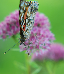 Unsuspecting Painted Lady