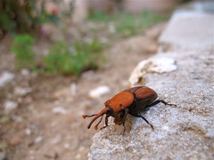 Rojo Picudo What bug is this? Rhynchophorus ferrugineus (BY-YOUR-) Tags: red espaa macro insect spain rojo europa europe mediterranean mediterraneo euro andalucia palm espana costadelsol andalusia escarabajo palmera malaga infected mites infection weevil mite infestation benalmadena coleoptera infested phoresy coleoptero identified commensal acari  commensalism torrequebrada ferrugineus byyourcommand acarina rhynchophorus picudo phoretic redpalmweevil rhynchophorusferrugineus byyour midnightgolfer escarabajopicudo rojopicudo