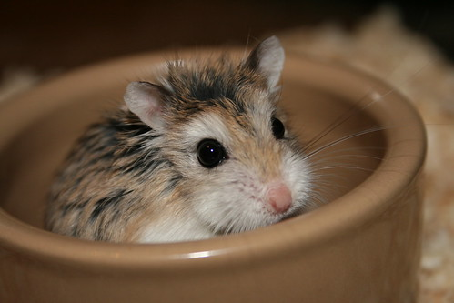 In the food bowl by roborovski hamsters.
