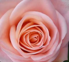 EL PERFUME DE LA ROSA (marthinotf) Tags: flores y rosa cubism naturesfinest mywinners excellentsflowers natureselegantshots damniwishidtakenthat theperfectpinkdiamond