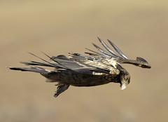 _D2X6964small (fnduplessis) Tags: castle giants vulture bearded specanimal animalkingdomelite