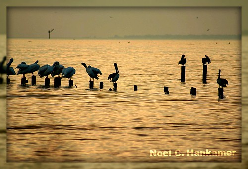 Pelicans in morning light- Seabrook