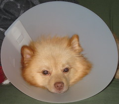 poor puppy (kelaltieri) Tags: bear dog puppy sad surgery veterinarian pomeranian neuter